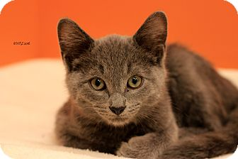 Domestic Shorthair Kitten for adoption in Flushing, Michigan - Grady