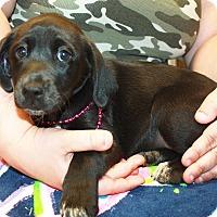 Adopt A Pet :: Hollyhock - Sparta, NJ
