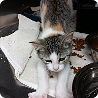 Adopt A Pet :: Peaches - Chippewa Falls, WI