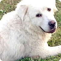 Great Pyrenees Dog for adoption in Beacon, New York - Sheba