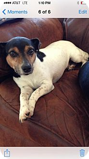 Jack Russell Terrier Mix Dog for adoption in Baton Rouge, Louisiana - BAXTER - COURTESY LISTING