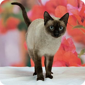Domestic Shorthair Cat for adoption in Houston, Texas - Amanda Waller