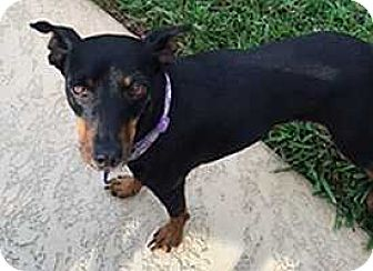 Miniature Pinscher Dog for adoption in McDonough, Georgia - Lucy--Albany, GA