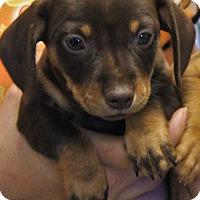 Adopt A Pet :: Werewolf - Red Bluff, CA