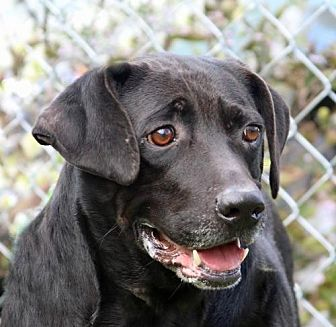 Labrador Retriever Mix Dog for adoption in Asheville, North Carolina - Shadow