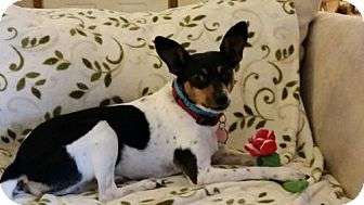 Rat Terrier Dog for adoption in Festus, Missouri - Penny