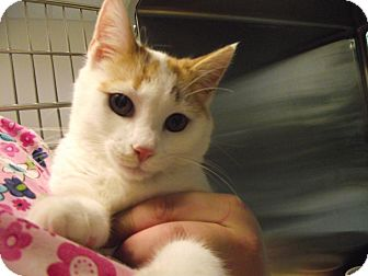 Domestic Shorthair Kitten for adoption in Chambersburg, Pennsylvania - Phillip
