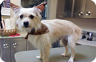 Terrier (Unknown Type, Small) Mix Dog for adoption in Wildomar, California - Tobi