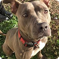 Adopt A Pet :: Gracie - Joliet, IL
