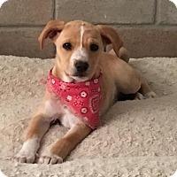Adopt A Pet :: Bree - San Diego, CA