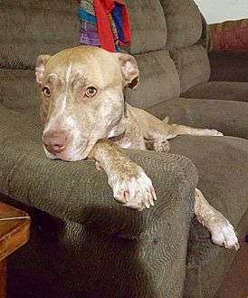 Pit Bull Terrier Mix Dog for adoption in New Kensington, Pennsylvania - Goldie