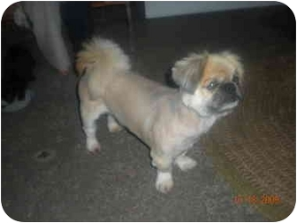 Pekingese Dog for adoption in Summerville, South Carolina - Nicholas Paul