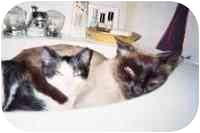 Siamese Cat for adoption in New York, New York - Mina