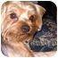 Photo 2 - Yorkie, Yorkshire Terrier Dog for adoption in Conroe, Texas - Jermey