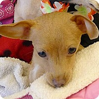 Adopt A Pet :: Fawn cute needs FOSTER - Sacramento, CA