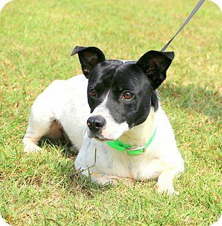 Jack Russell Terrier/Basset Hound Mix Dog for adoption in ...