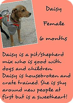 American Pit Bull Terrier/Shepherd (Unknown Type) Mix Puppy for adoption in Stephenville, Texas - Daisy