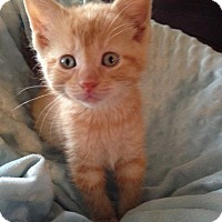Adopt A Pet :: Pinto - Rockford, IL