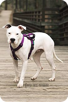Boxer/Pit Bull Terrier Mix Dog for adoption in greenville, South Carolina - Darla