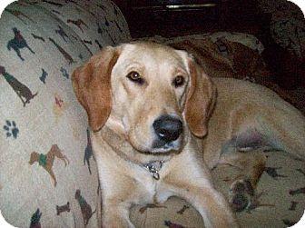 Labrador Retriever Dog for adoption in Broomfield, Colorado - Bellvue (aka Belle)