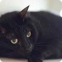 Adopt A Pet :: Figaro - Gainesville, FL