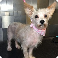 Cairn Terrier/Yorkie, Yorkshire Terrier Mix Dog for adoption in McKinney, Texas - Sweden