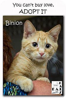 Domestic Shorthair Kitten for adoption in Albuquerque, New Mexico - Binion