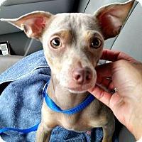 Adopt A Pet :: Dobby - McKinney, TX