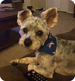 Schnauzer (Miniature)/Yorkie, Yorkshire Terrier Mix Dog for adoption in Dallas, Texas - Milo