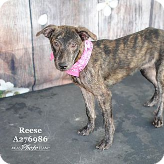 Whippet Dog for adoption in Conroe, Texas - REESE