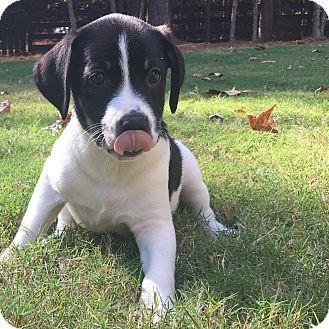Border Collie/German Shepherd Dog Mix Puppy for adoption in CUMMING, Georgia - Hive