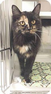 Domestic Mediumhair Cat for adoption in Joplin, Missouri - Liza 110729
