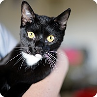 Domestic Shorthair Cat for adoption in Los Angeles, California - Sutton