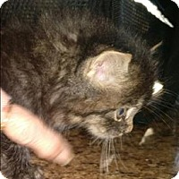 Domestic Longhair Kitten for adoption in Atlantic City, New Jersey - Linus