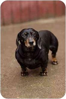 Dachshund Dog for adoption in Portland, Oregon - Tilly
