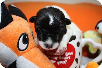 Corgi/Beagle Mix Puppy for adoption in Stilwell, Oklahoma - Flower