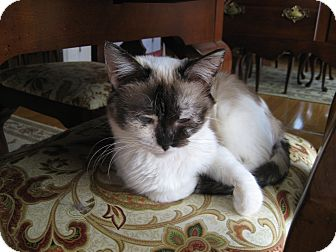 Siamese Cat for adoption in Indianapolis, Indiana - Maggie