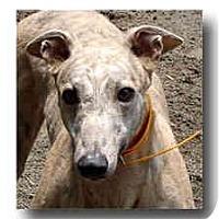 Adopt A Pet :: Slinger - Roanoke, VA