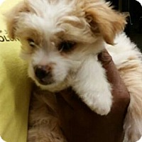 Adopt A Pet :: Mercedes - NON SHED! - Phoenix, AZ