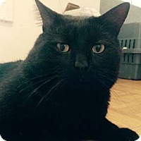 Domestic Shorthair Cat for adoption in Verdun, Quebec - Franko