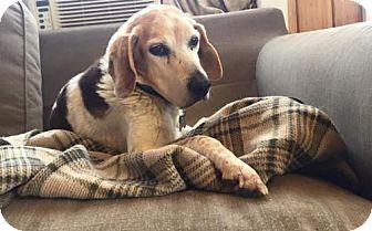 Beagle Mix Dog for adoption in Fredericksburg, Virginia - Hank