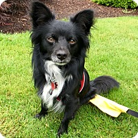 Adopt A Pet :: Miko - Adoption Pending - Gig Harbor, WA