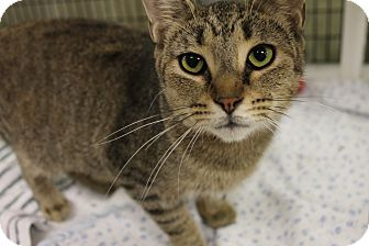Domestic Shorthair Cat for adoption in Medina, Ohio - Gloria