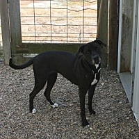 American Pit Bull Terrier Mix Dog for adoption in Des Moines, Iowa - Luda Waiting for FOSTER!