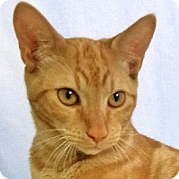 Domestic Shorthair Kitten for adoption in Davis, California - Russell