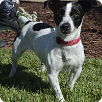 Jack Russell Terrier/Rat Terrier Mix Dog for adoption in Palo Alto, California - Sophie