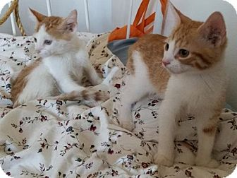 Domestic Shorthair Kitten for adoption in Brooklyn, New York - 2 Super Affectionate Red HeadedKittens!Jake & Sean