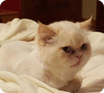 Persian Cat for adoption in Mackinaw, Illinois - Poof