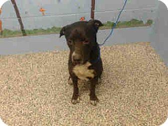 Pit Bull Terrier Mix Dog for adoption in San Bernardino, California - URGENT on 10/13 SAN BERNARDINO