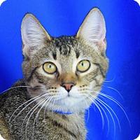 Domestic Shorthair Kitten for adoption in Carencro, Louisiana - Tabitha